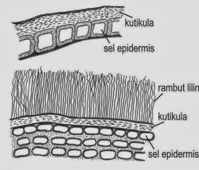 Pengertian Jaringan Epidermis