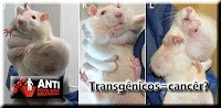 transgenicos-ratos-cancer.jpg (615×300)
