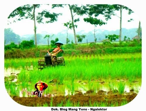 Ngalektor sawah yang mau di tanami padi