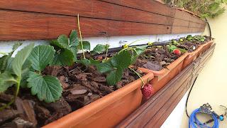 Jardineras de fresas