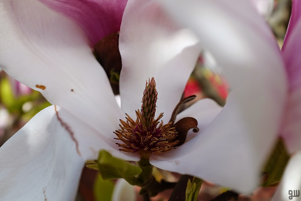 Magnolia Blossom - © 2015 Graeme Walker - Garden Photography, Plants, Geology, Creatures