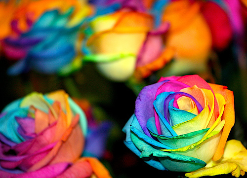 distings rainbow roses