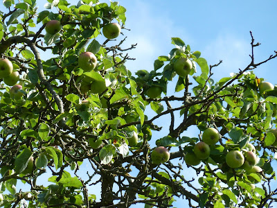 Bramley apples on the tree against the blue sky