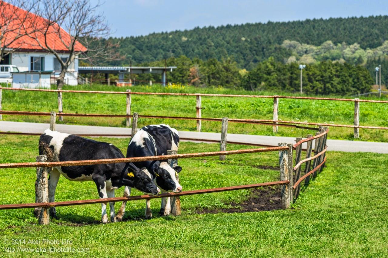 マザー牧場 うしの牧場に放牧されていた牛達