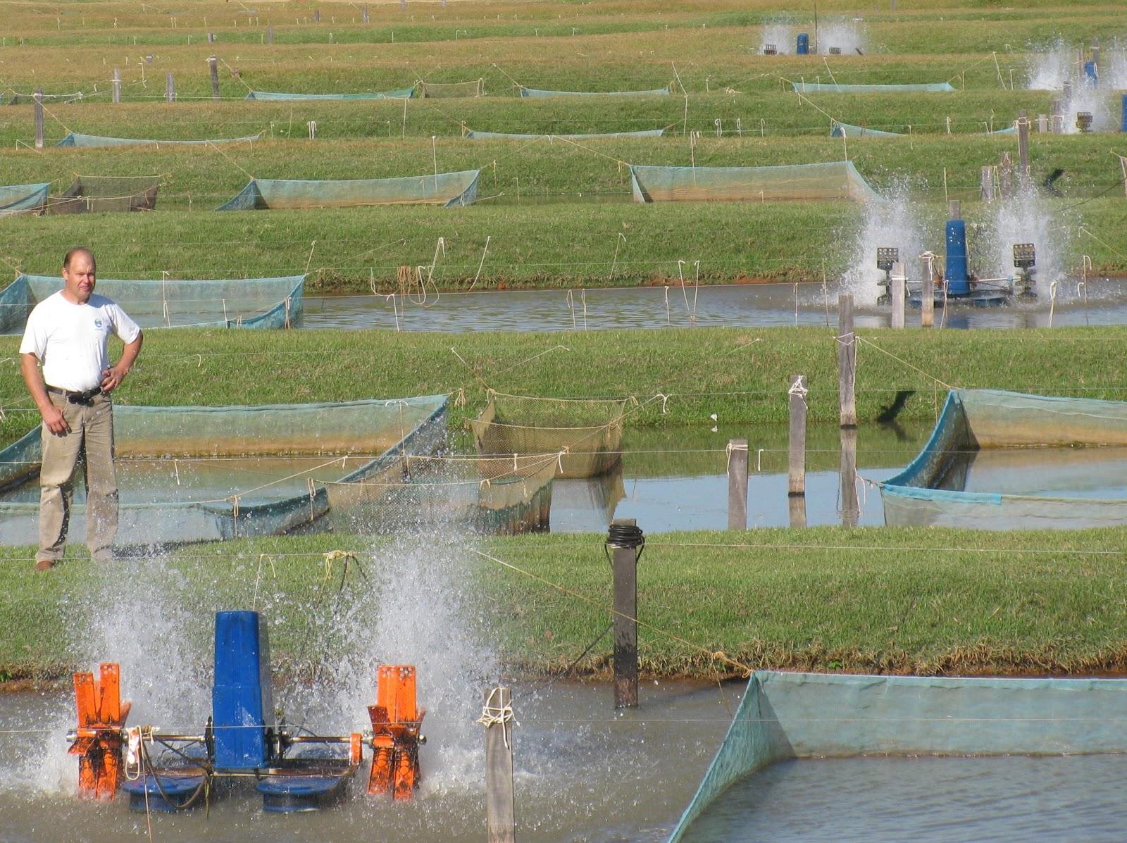 Cria peixe tilapicultura cria o intensiva de til pias for Tanques para cria de tilapia