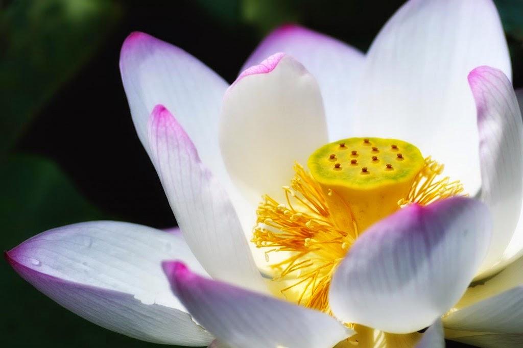 hình nền hoa sen trắng đẹp mê hồn