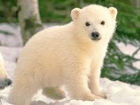 gambar beruang kutub