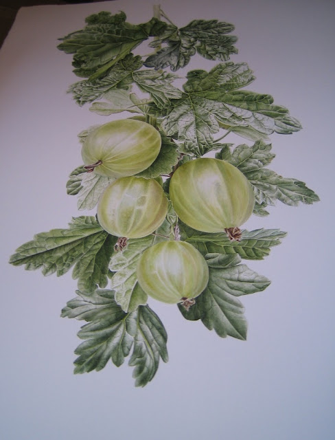 Gooseberry Botanical Art
