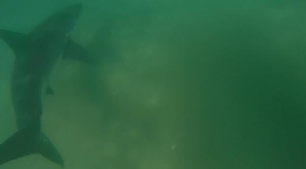 Nadando com um tubarão branco sem saber
