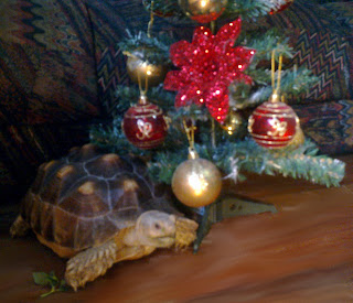 Cute geochelone sulcata tortoise pet beside a Christmas tree.