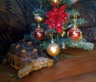 Cute geochelone sulcata tortoise pet beside a Christmas tree.