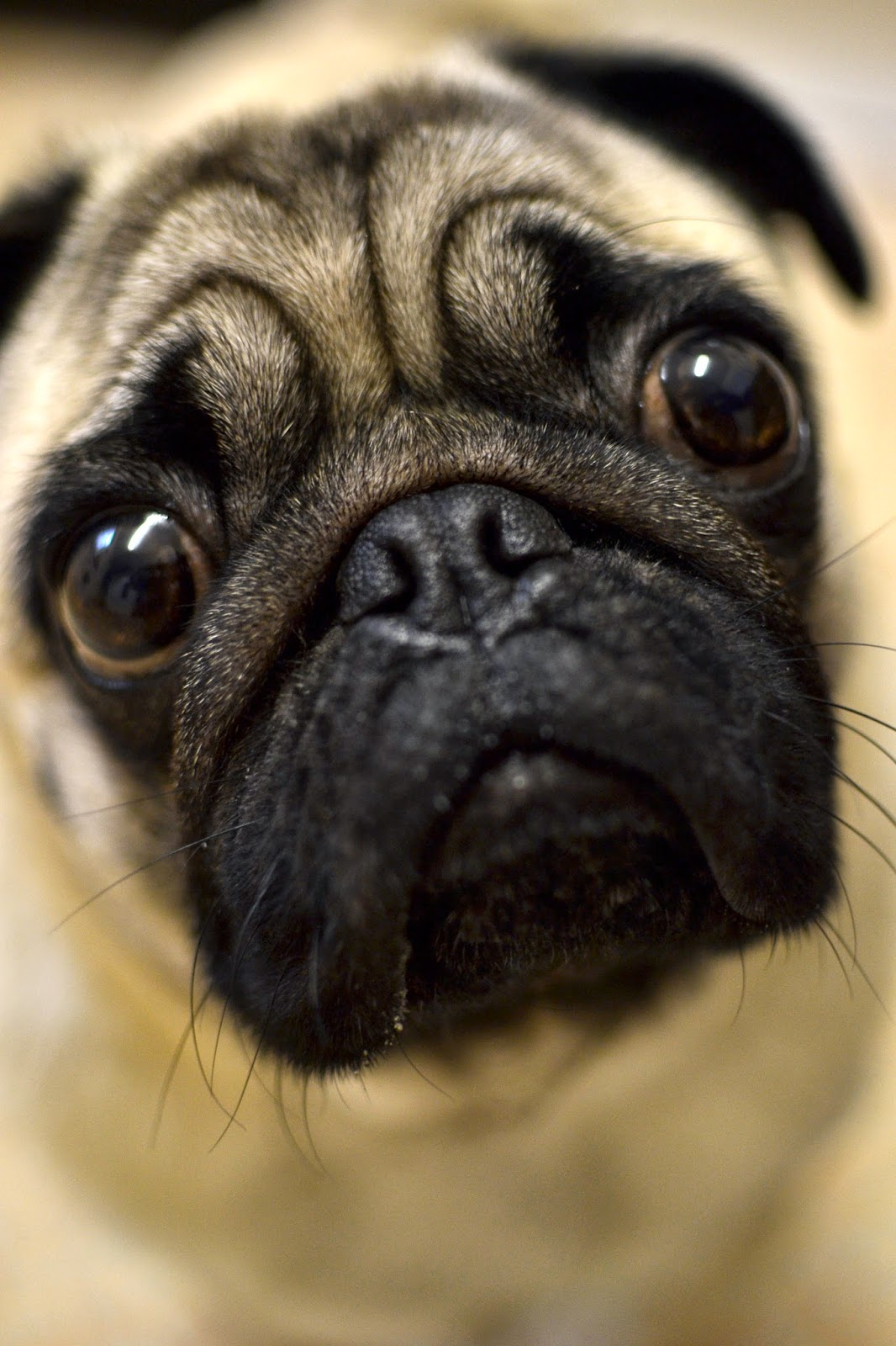 pugs, pug, mopps, photography, fog, landscape, dog, dogs, silly, cute, hipster, cameras, macro, soft focus,