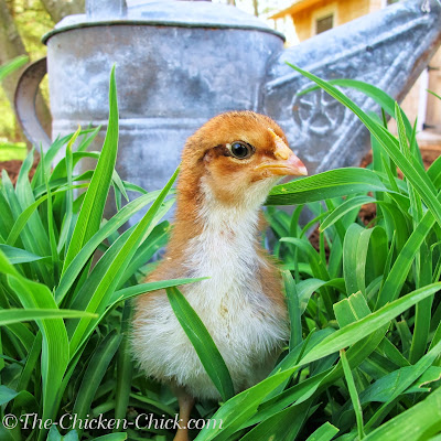 Even when purchasing female (aka: sexed) chicks, vent sexing is only 90% accurate. Have a plan for roosters that cannot be kept.