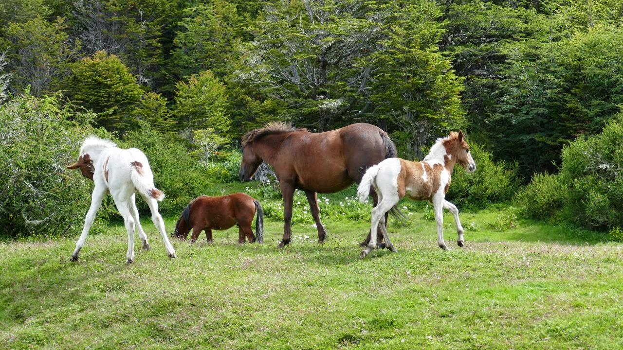 Tierra del Fuego Nationalpark - Pferde