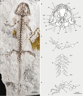 Chunerpteton skeleton