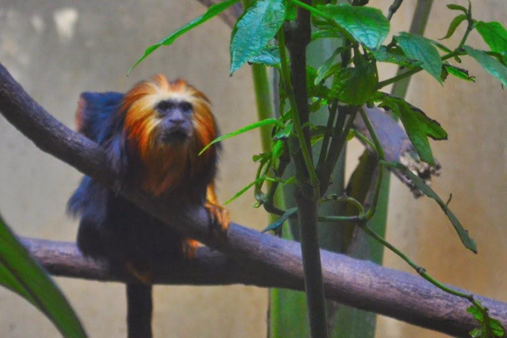 Mico leão dourado do Zoológico de São Paulo