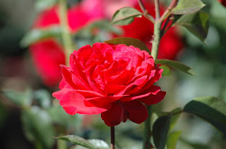 Rose at Manito Park and Botanical Gardens from www.traceeorman.com