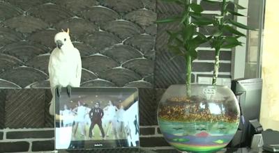 Video Gangnam Style Versi Burung Kakatua