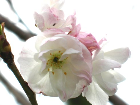 White and Pink Blossoms