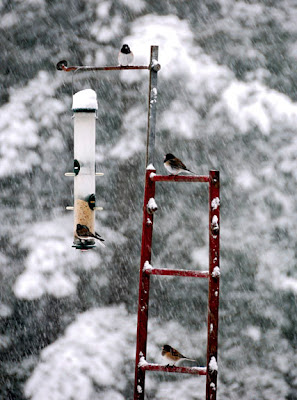 black-capped chickadees at feeder in snow storm