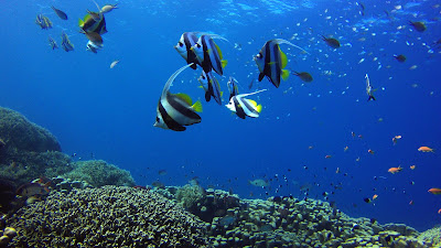 butterfly fishes Mafia island Tanzania
