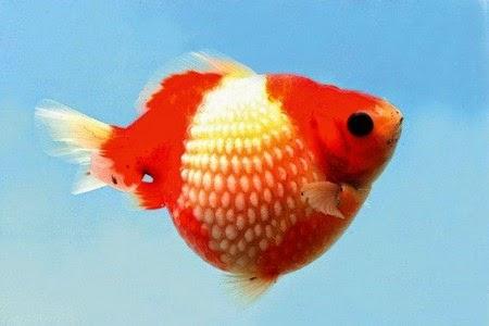 Cá Ngọc Trai