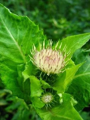 OSTROŻEŃ WARZYWNY Cirisium oleraceum