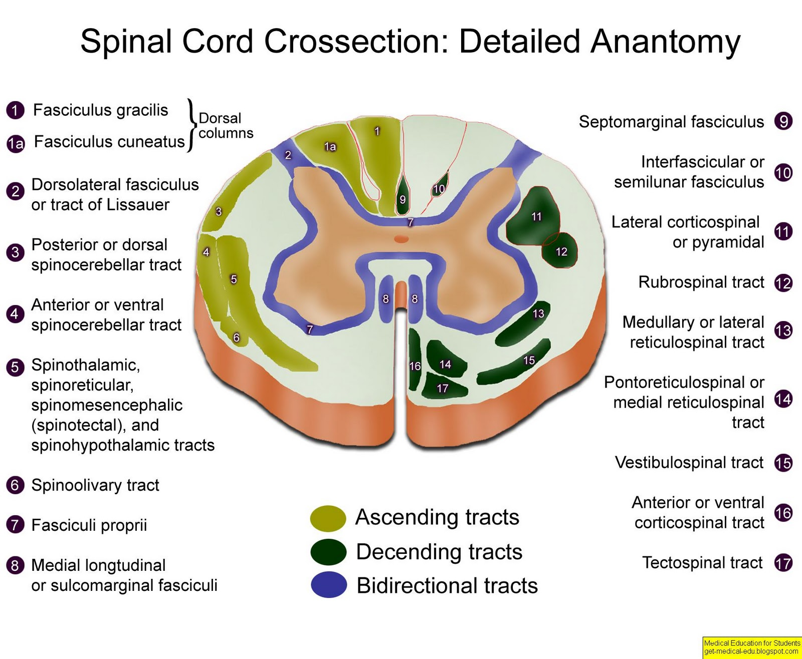 Spinal cord anatomy tracts