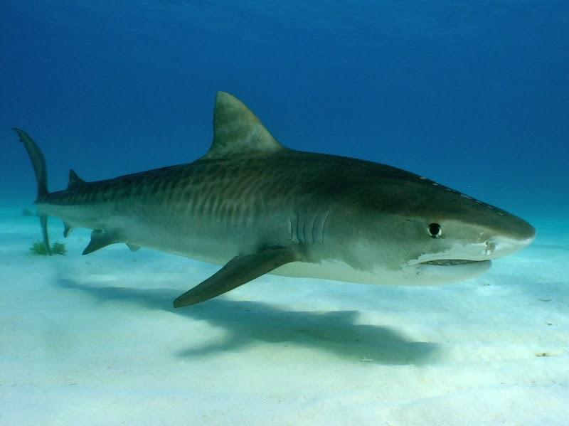 El Tiburón Tigre