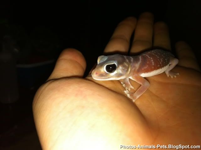 gecko as pet