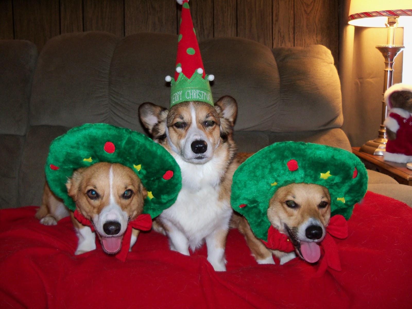 wanted your christmas corgi photos - Christmas Corgi
