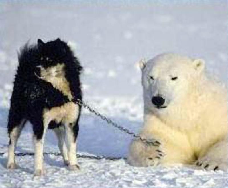 видео белого медведя тот или иной гладит собаку