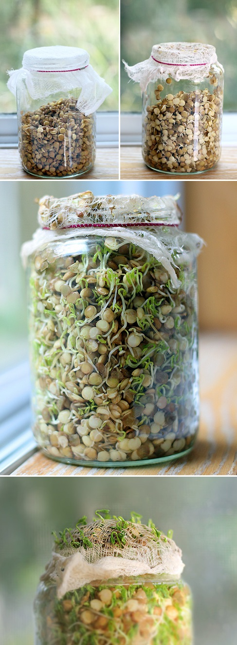 How To Sprouting Green Lentils