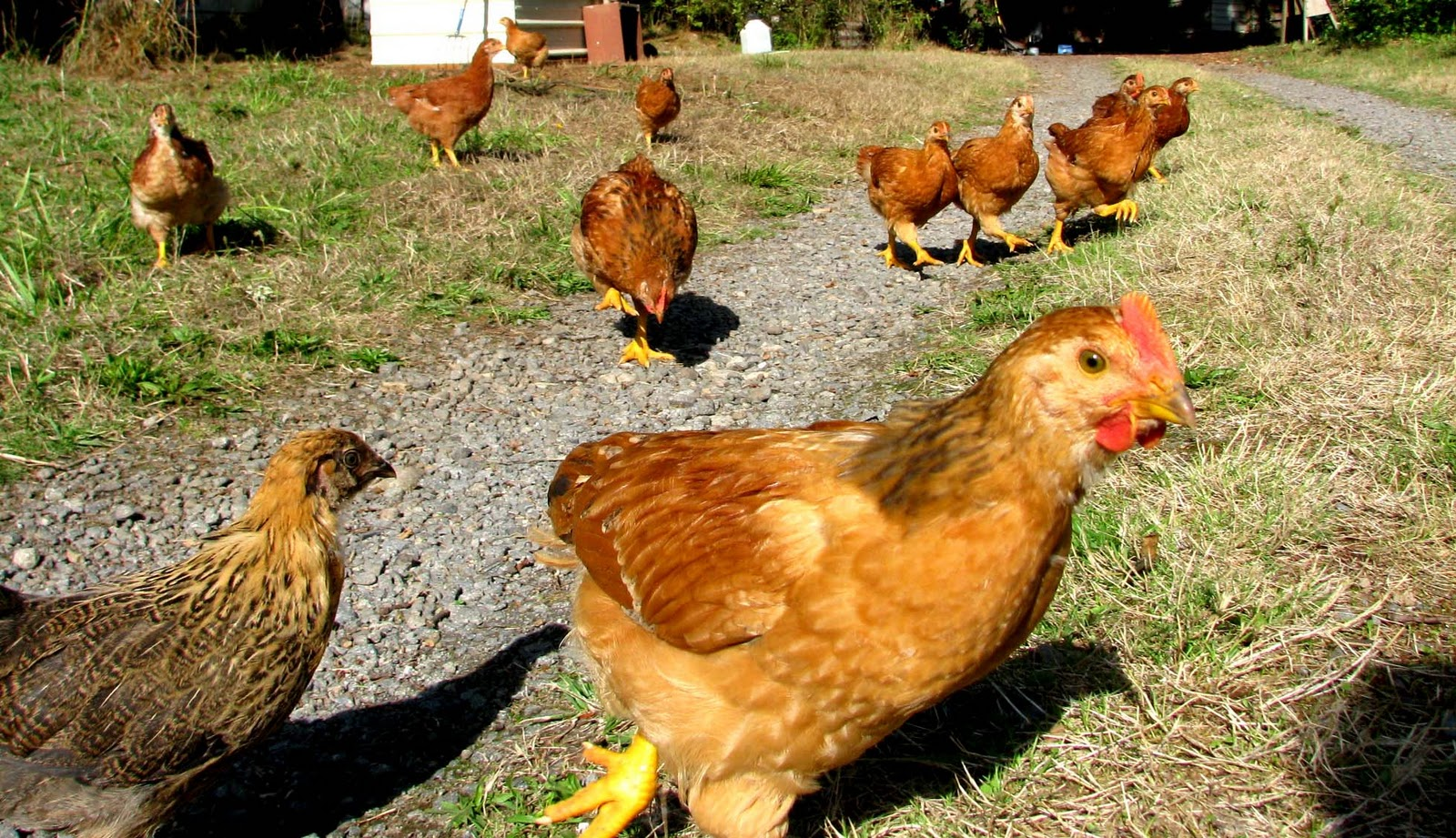 the reluctant homesteaders the running of the chickens