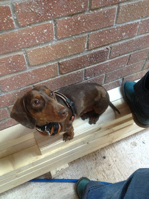 Chocolate the miniature Dachshund looks up