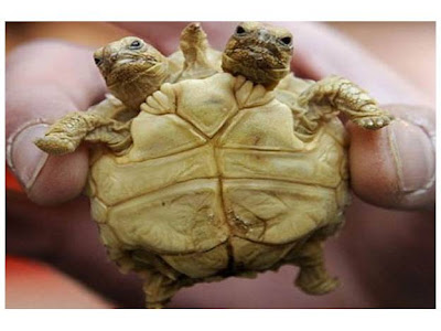 La tortuga de dos cabezas y cinco piernas