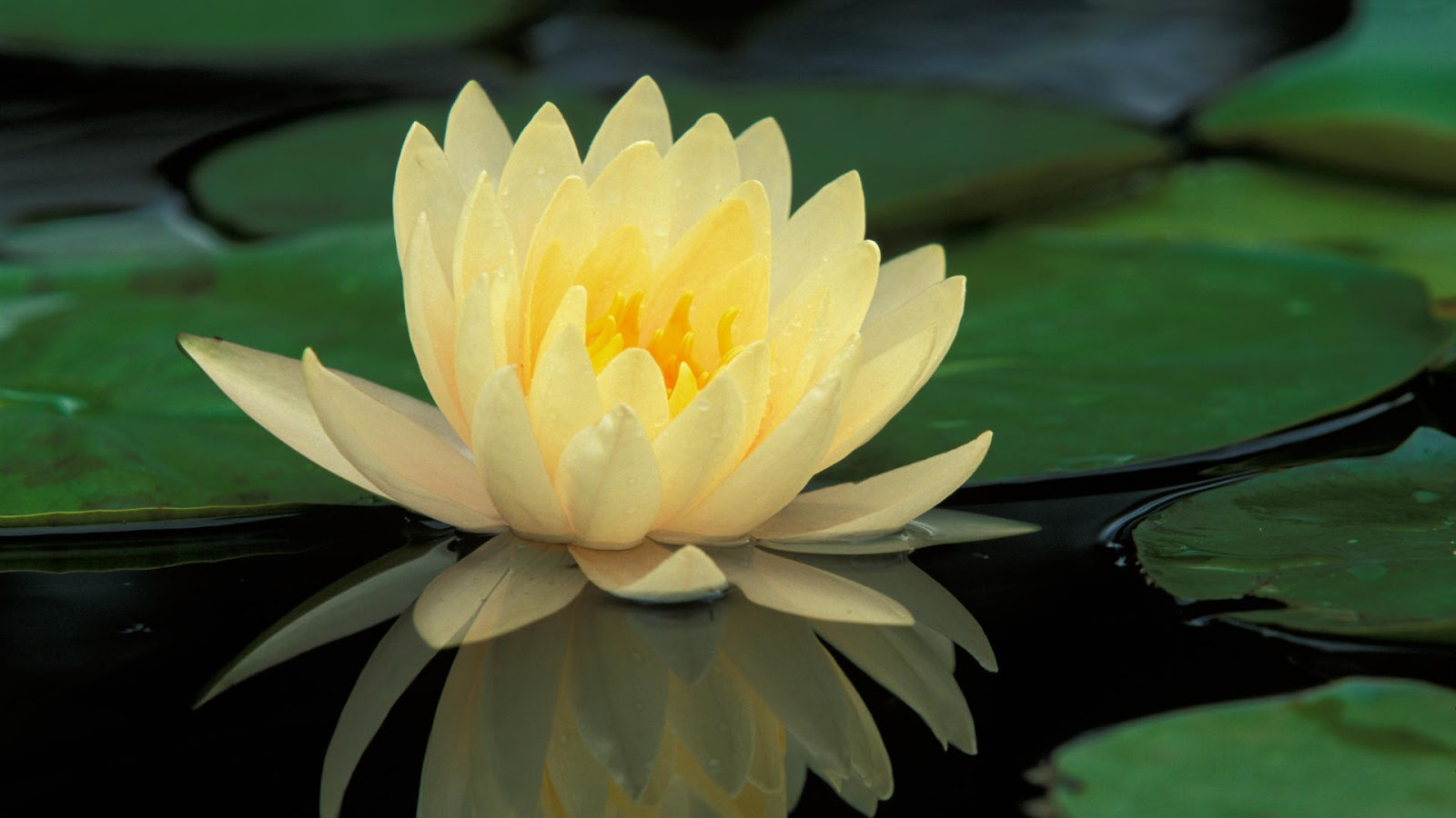 No mud no lotus sntatea ca expresie a armoniei without mud you cannot have a lotus flower without suffering you have no ways in order to learn how to be understanding and compassionate izmirmasajfo