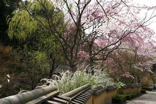 雪柳と桜と