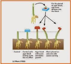 pengaruh hormon auksin