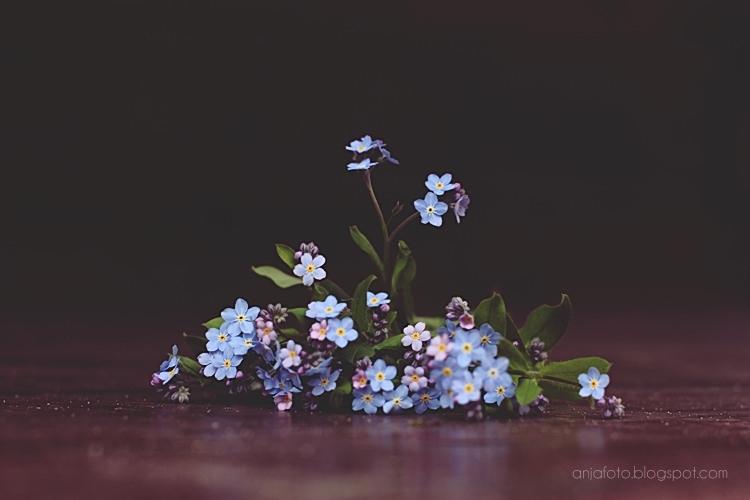 niezapominajki, niezapominajka, forgetmmenot, kwiaty, flowers photography, nature photography