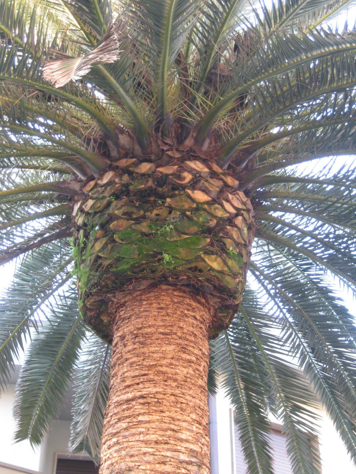 Semiriciclo phoenix canariensis palma delle canarie - Radici palma ...