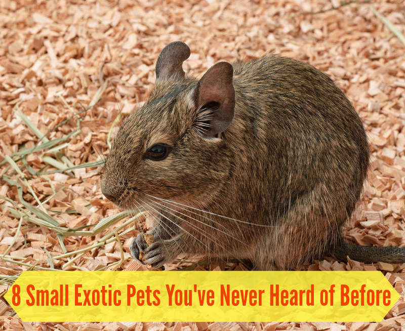8 Small exotic pets you've never heard of before