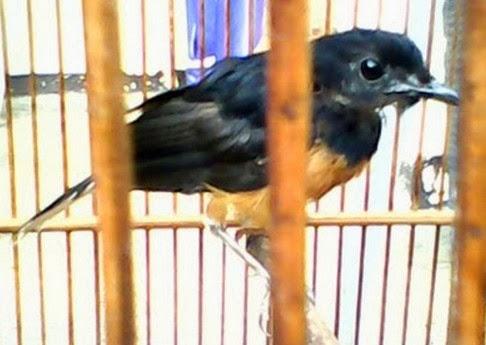Tips Melatih Burung Murai Borneo Bakalan Makan Voer