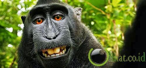 Hak Cipta Foto Selfie Monyet