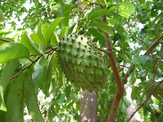 Manfaat buah sirsak untuk diabetes