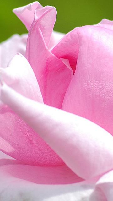 Rose Mobile Wallpaper