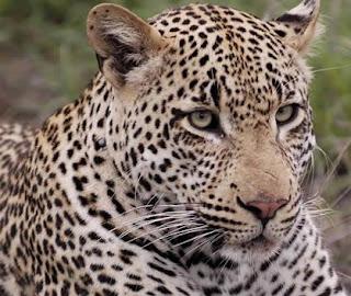 Rostro de un leopardo