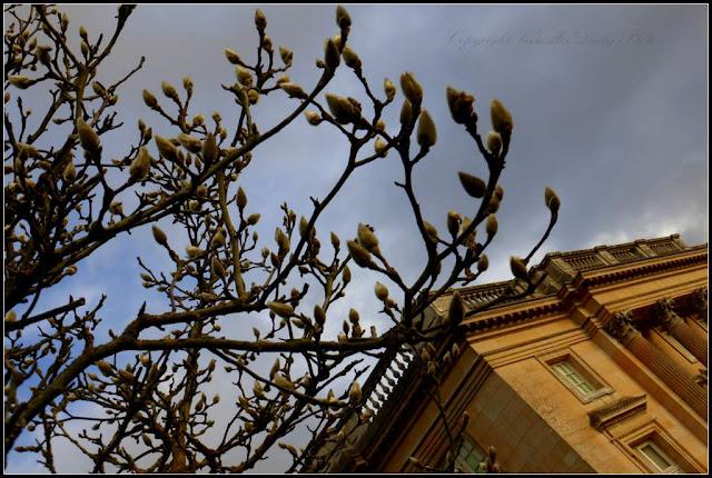 Magnolia Petit Trianon Versailles