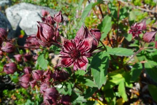 Kråkklöver - Potentilla palustris