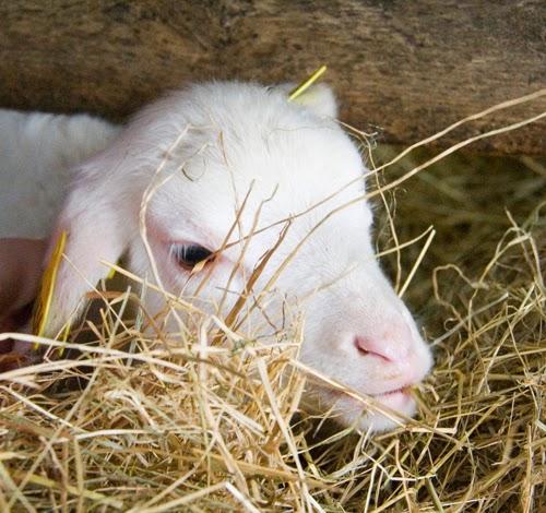 bébé de la bergerie de Rambouillet